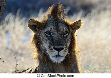 Bad hair day - Lion with a somewhat underdeveloped mane...
