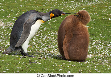 King Penguin with Hungry Chick - Adult King Penguin...
