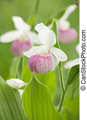 lady slipper trio - closeup of three lady slippers
