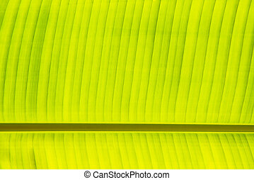 Fresh green banana leaf