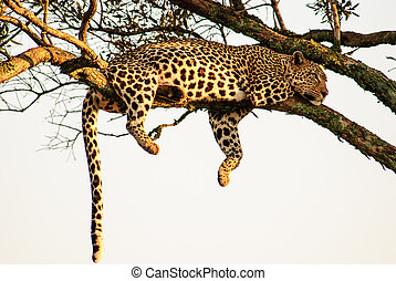 typical Leopard pose - A typical pose of a replete Leopard...
