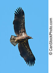 White Tailed Eagle Haliaeetus albicilla - White Tailed Eagle...