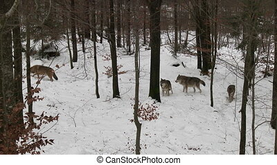Gray wolf in winter forest - Gray wolf Canis lupus pack in...