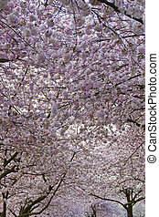 Cherry Blossom Canopy at Spring Time