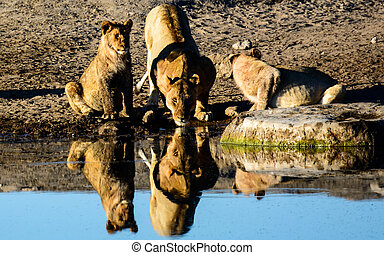 Drinking Lions & their reflection - Lions drinking at a...