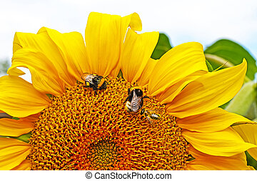 Helianthus annuus. Bumblebees and bees collect nectar from a...