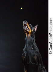 Black dog face - Portrait of beautiful black male doberman...