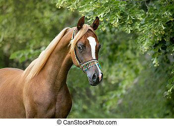 arabian filly curious portrait