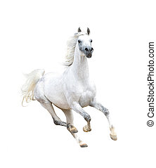 white arabian horse isolated on white
