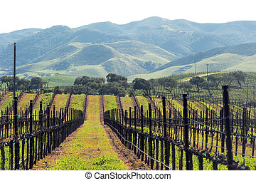 winter grape vines ready for spring - green growth in...
