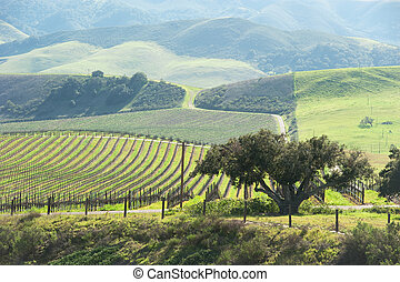 beautiful vineyard in the central coast - vineyard in the...