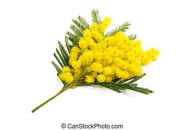 Mimosa silver wattle branch isolated on white background