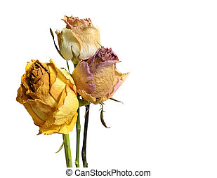 Three Faded Withered Rose Flowers Isolated on White - Three...