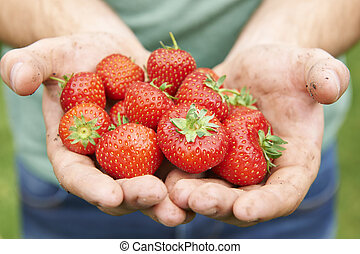 Man Holding Freshly Picked Strawberries