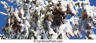 Frost Covered Spruce Tree Branch with Pine Cones
