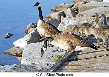 Canada Geese with their Goslings - Pair of Adult Canada...