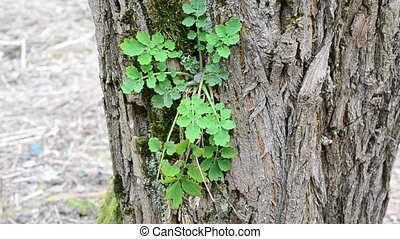 Symbiosis: greater celandine growing on black locust tree...