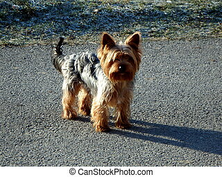 Dog - Portrait of a small dog,furry dogs