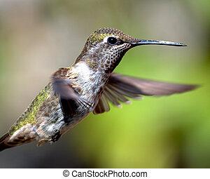 menekülés,  anna's, Kolibri