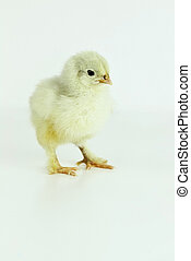 Little Cochin Chick - Little Cochin chick all alone.