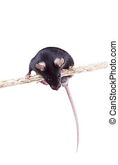 Black laboratory mouse is sitting on a rope Isolated on...