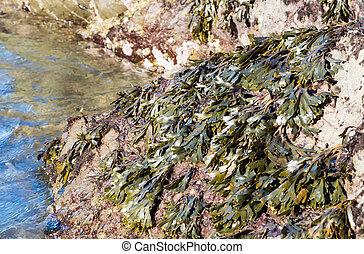 Common Rockweed Algae, (Fucus Distichus), California,...