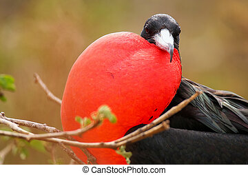 Male Magnificent Frigate bird with inflated gular sac on...