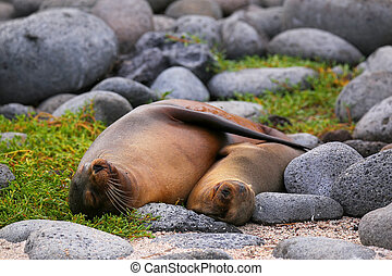 Mother and baby Galapagos sea lions lying on North Seymour...
