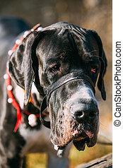 Close Up Great Dane Big Dog. Deutsche Dogge, German mastiff.
