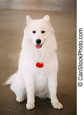 Happy White Samoyed Bjelkier Dog Sitting On Floor. The...