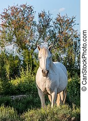 Portrait of the White Camargue Horse on the natural green...