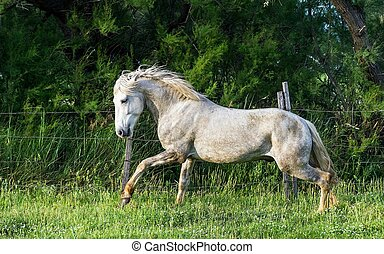 White Camargue Horse on the natural background...