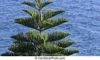 Tropical araucaria tree against blue ocean and sky in...