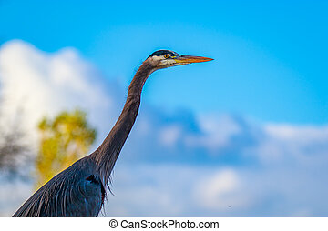 Great Blue Heron - Close up of a great blue heron standing...