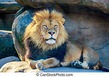 Lion - Mighty male lion resting on a rock.