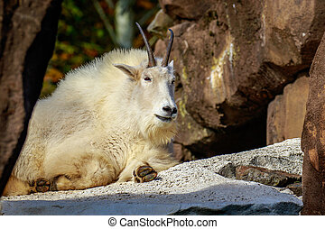 Mountain Goat - White mountain goat sun-bathing on a rocky...