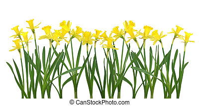 Daffodil banner - Beautiful daffodils isolated on white -...