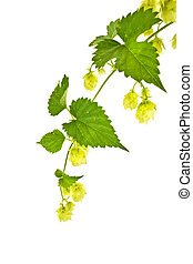 Hop or Humulus - Branch of plant a Hop or Humulusis isolated...