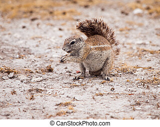 South African ground squirrel, Xerus inauris, sitting and...