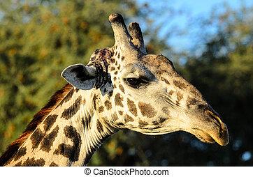 head shot of a Giraffe - close up of the head of a Giraffe