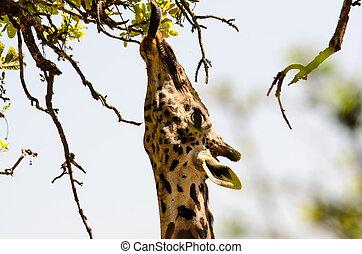 Long tongue of a feeding Giraffe busy feeding