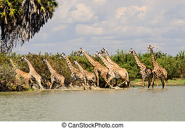 Tower of scared Giraffes - A Tower of scared Giraffes...
