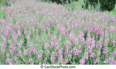 Lavender has narrow leaves and bluish-purple flowers,...