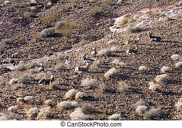 The bighorn sheep (Ovis canadensis) resting