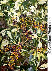 tropical shrub berry plant