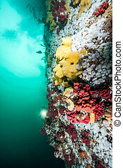 Scuba diving at British Columbia - Picture shows the...
