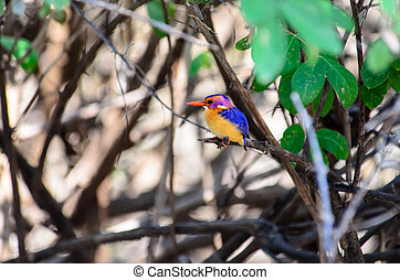 African Pygmy Kingfisher perched in a bush