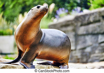 Cute playful California sea lions Zalophus californianus on...