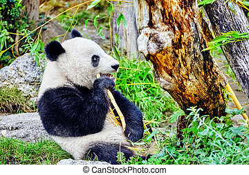 Cute bear panda actively chew a green bamboo sprout
