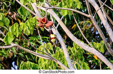aracari feeding on a plant in the Pantanal